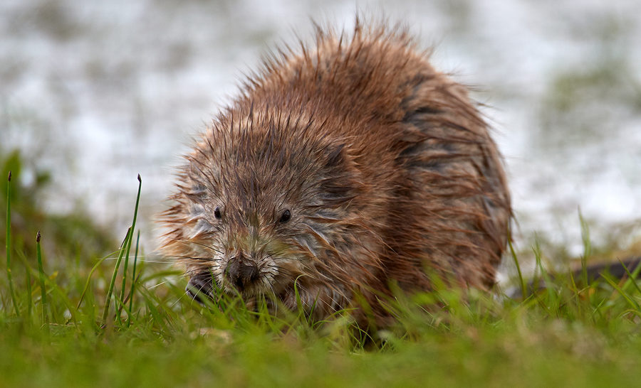 Indianapolis Muskrat Removal and Control