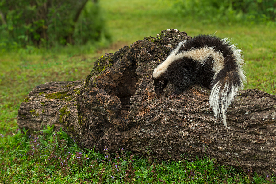 Indianapolis Skunk Removal and Control