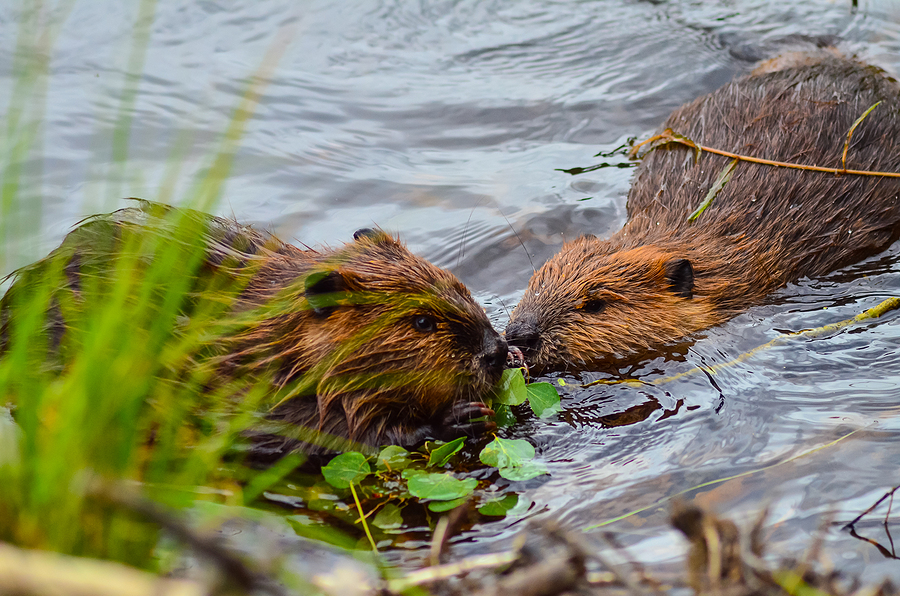 Indianapolis Beaver Removal and Control