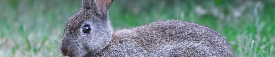 Indianapolis Rabbit Removal and Control