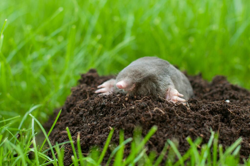 Indianapolis Yard Mole Removal