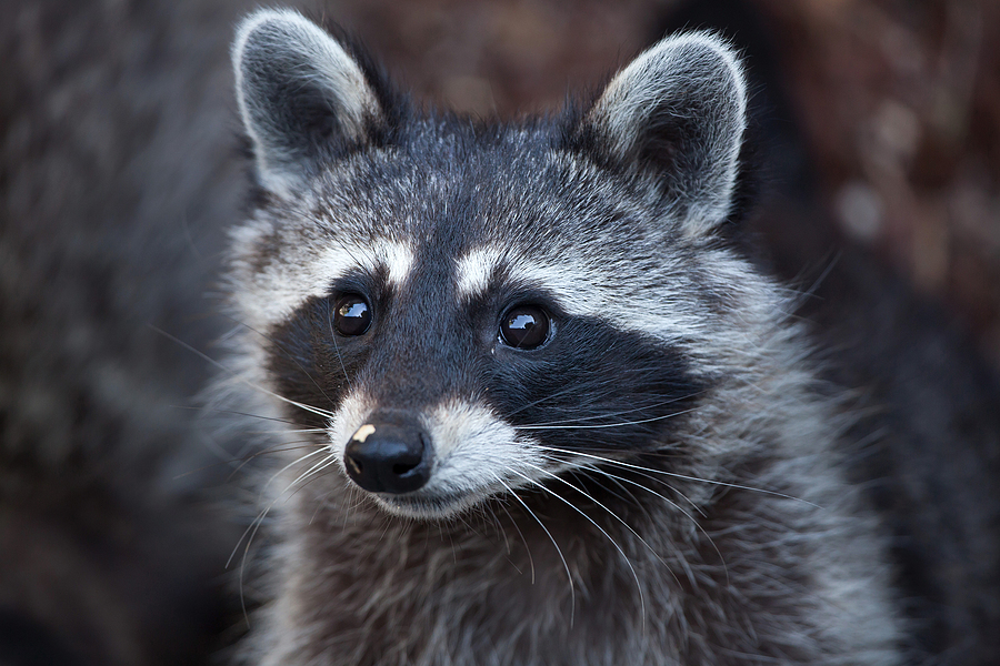 Raccoon Removal and Control in Tennessee 615-336-5503