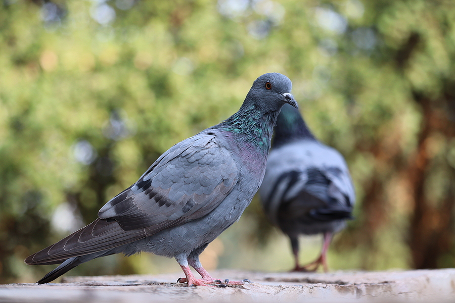 Indianapolis Pigeon Removal and Control