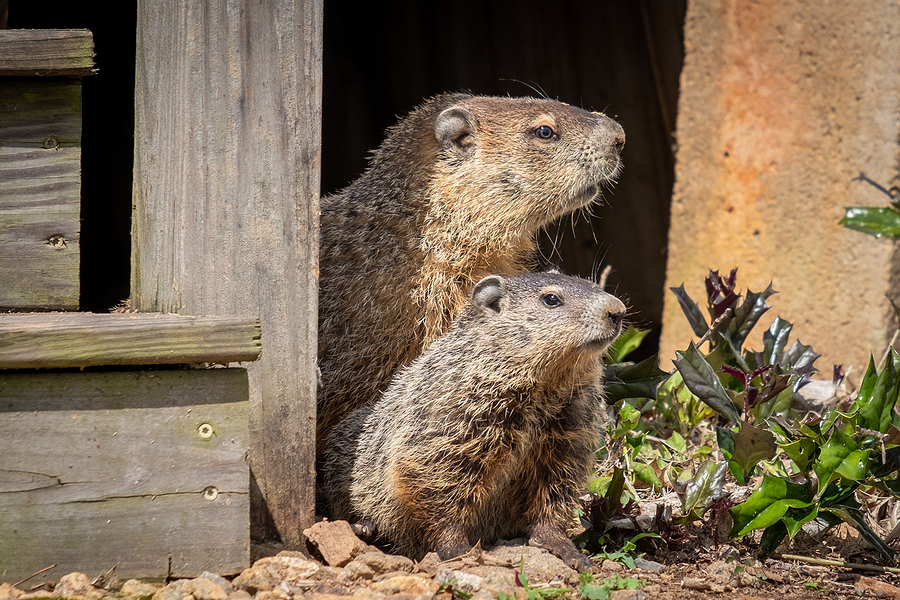 Indianapolis Groundhog Removal Service