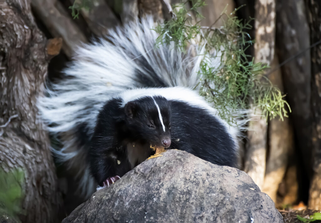 Indianapolis Skunk Removal and Control 317-847-6409