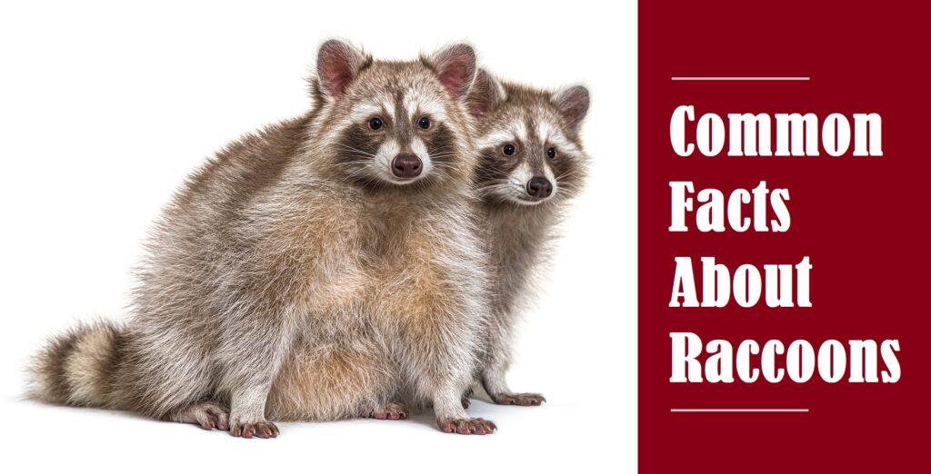 Indianapolis Raccoon Control 317-847-6409