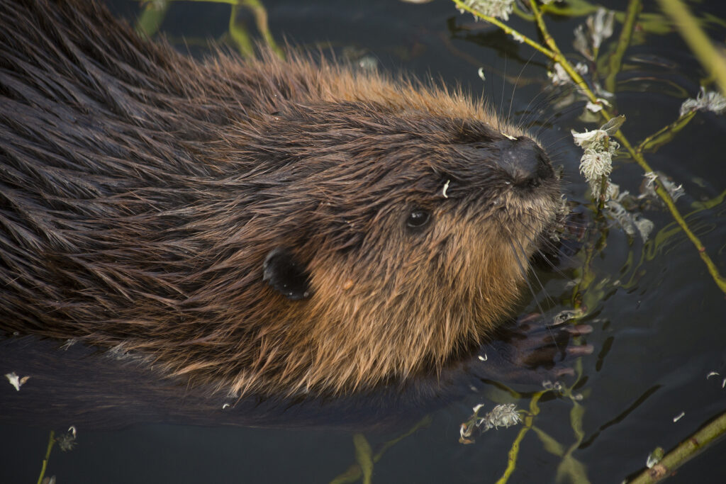 Indianapolis Beaver Removal and Control 317-847-6409