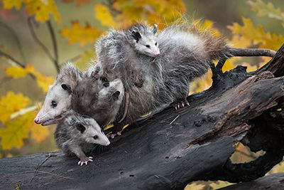 Opossum Removal Indianapolis Indiana