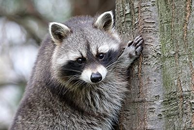 Raccoon Removal Indianapolis Indiana